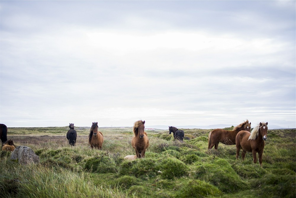 Icelandic horses - Photograph courtesy of Pixabay