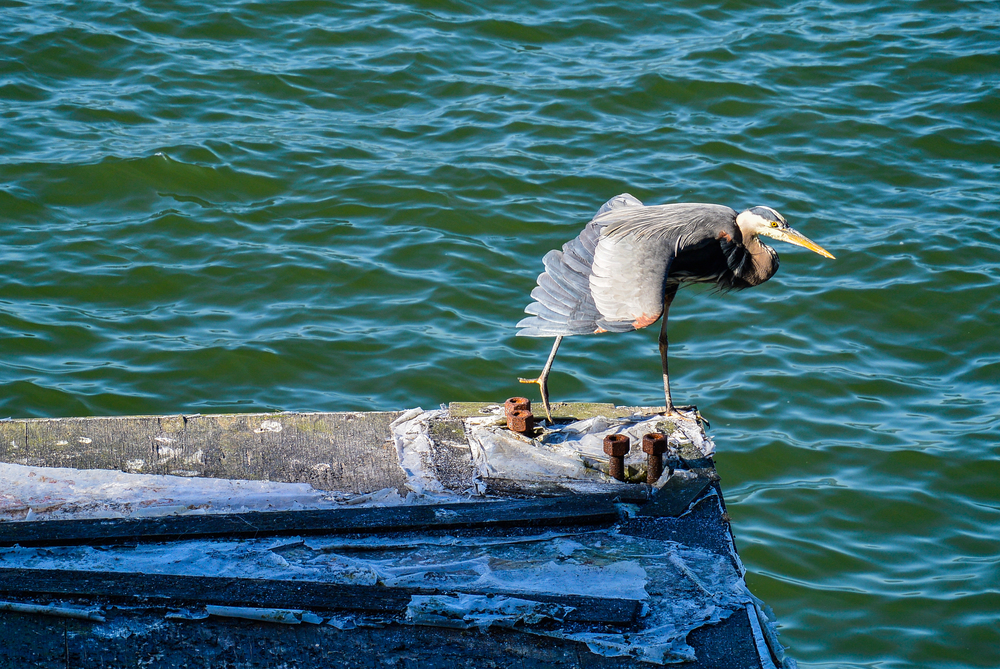 blue heron stanley park