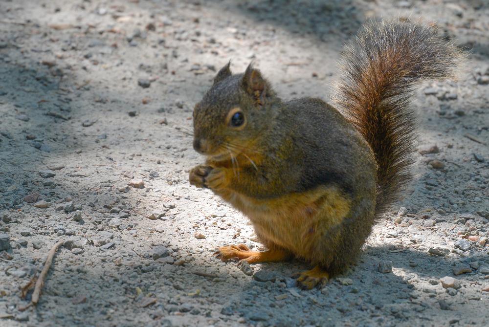stanley park squirrel