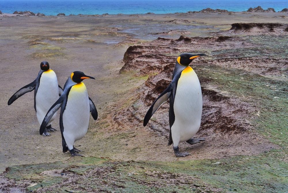 penguins of the falkland islands a photo essay sidetracked  penguins of the falkland islands a photo essay sidetracked travel blog