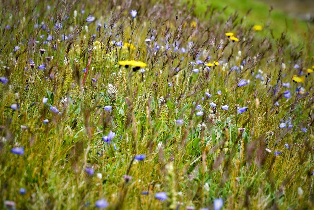 Icelandic flowers