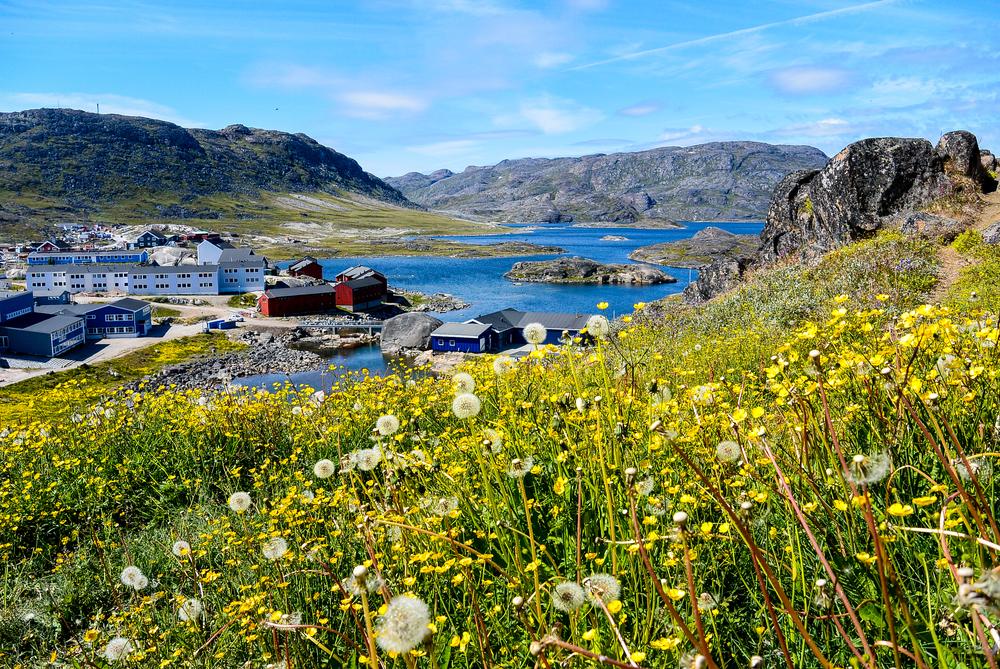 Summer wildflowers in Qaqortoq