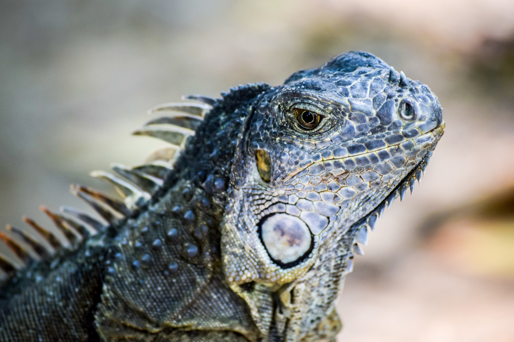 Iguana,Roatán