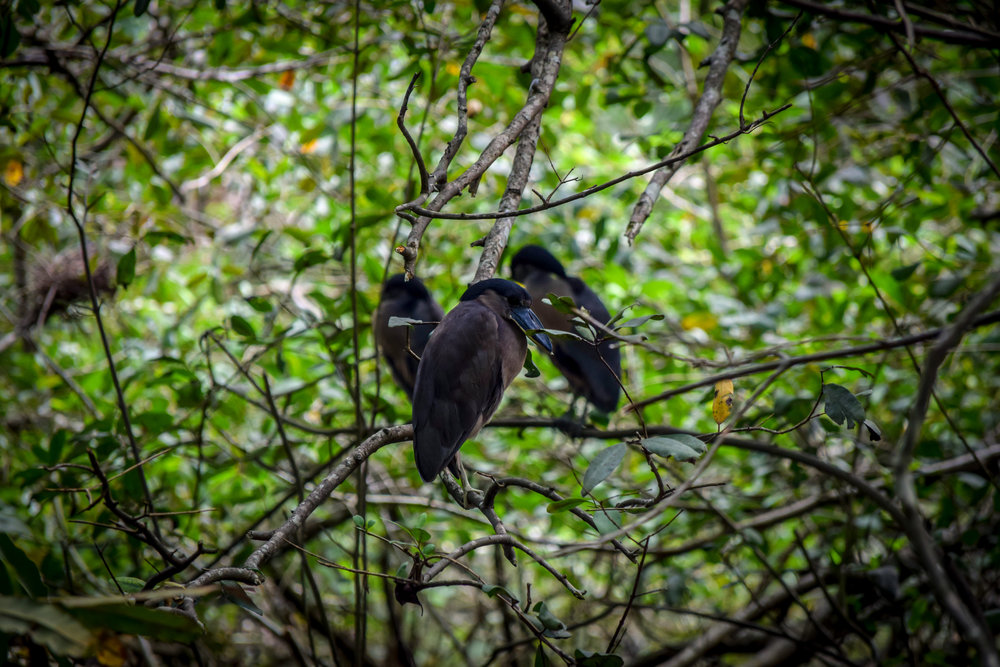 Birds in Cahuita National Park
