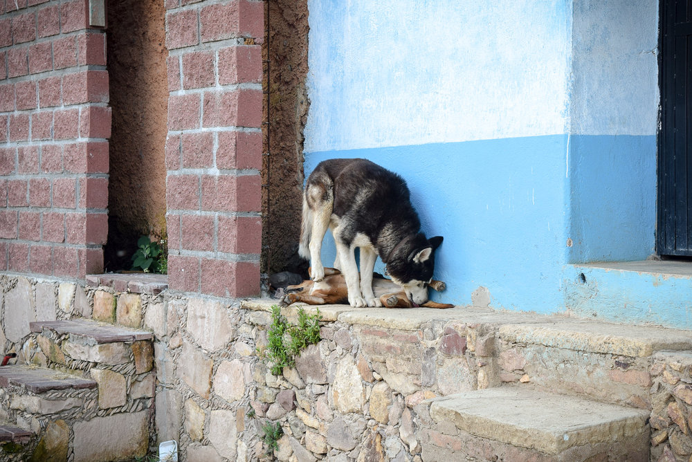 Dogs in Santa Rosa de Lima, Mexico
