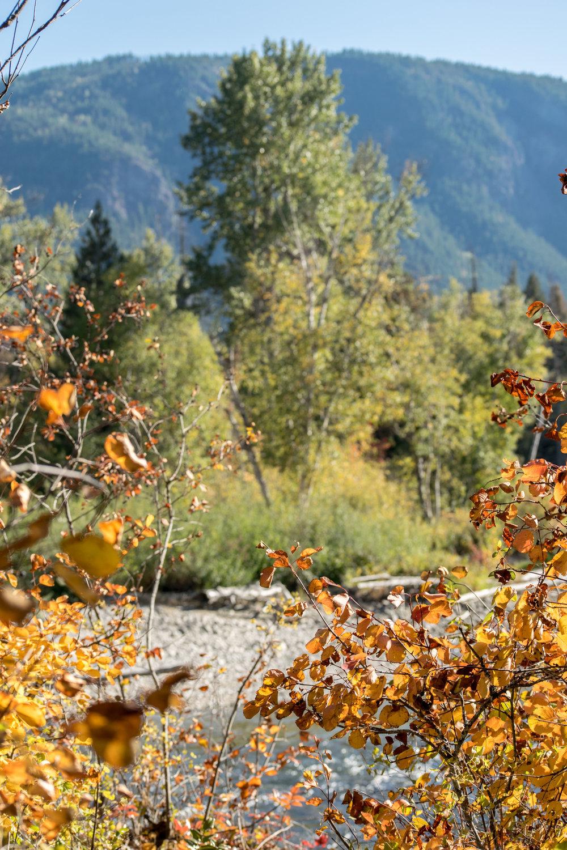 Fall foliage at Adams River, Shuswap