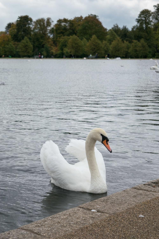 Swan on Round Pond