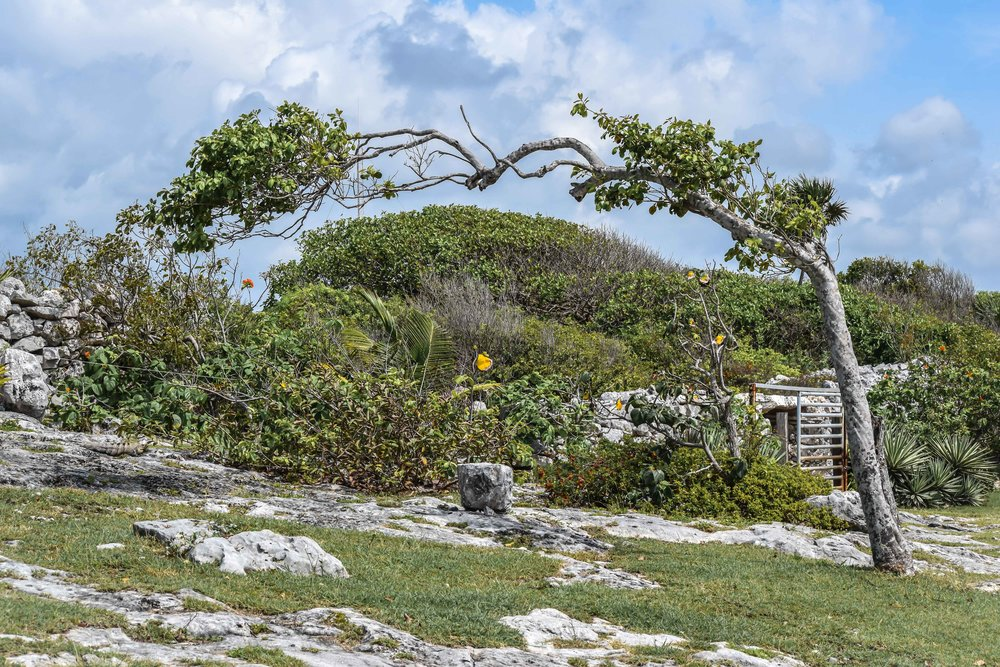 Bent tree in Tulum