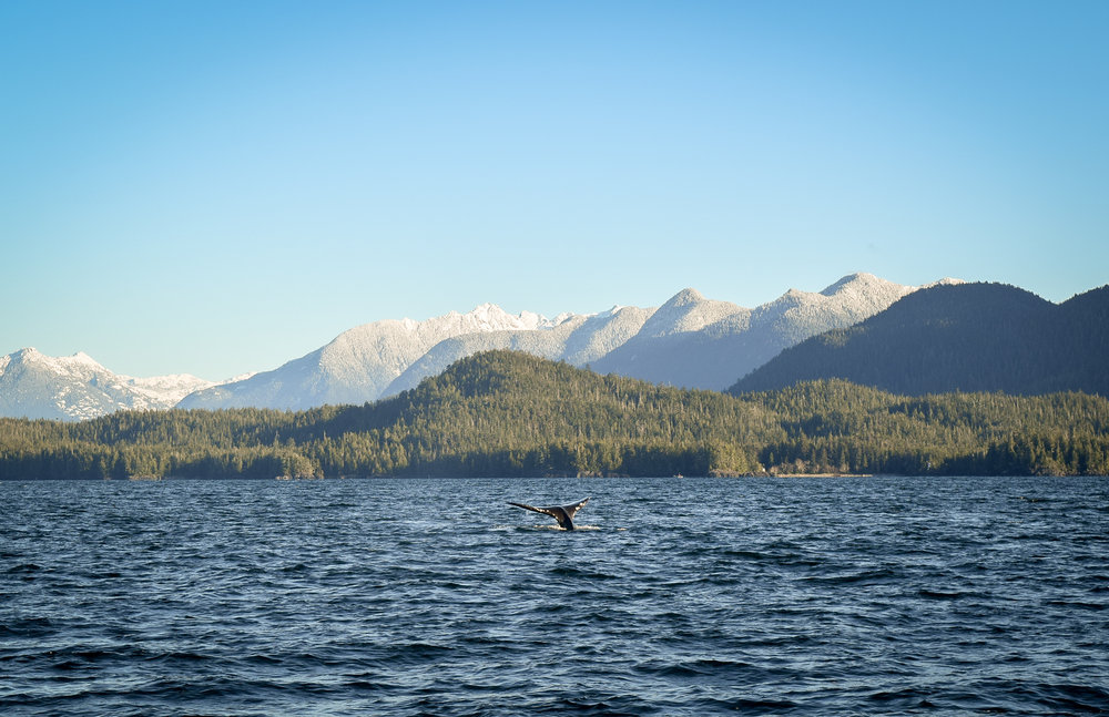 Whale tail near Tofino