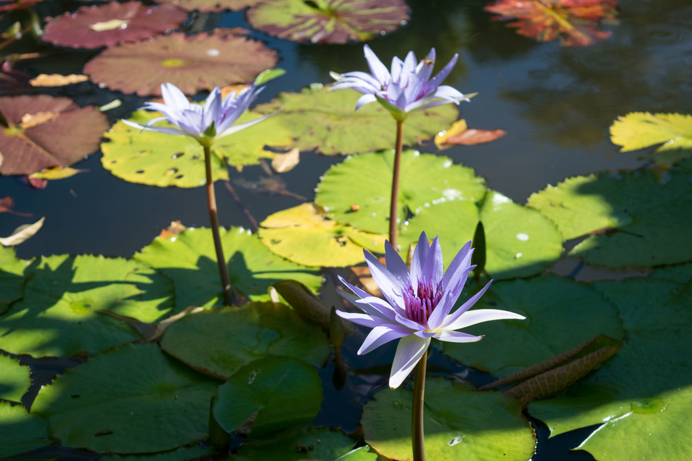 Water lilies in Conservatory Garden pond