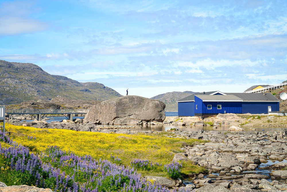 Lupins and wildflowers blooming in Qaqortoq