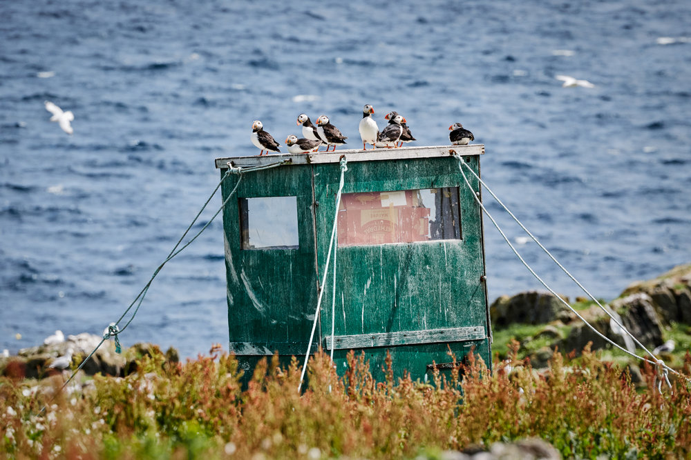 Puffins on the Isle of May, Scotland