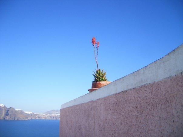 Santorini_plant.jpg