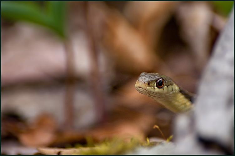 DSC03630 g snake.jpg