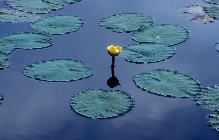 Flower and lily pad.jpg