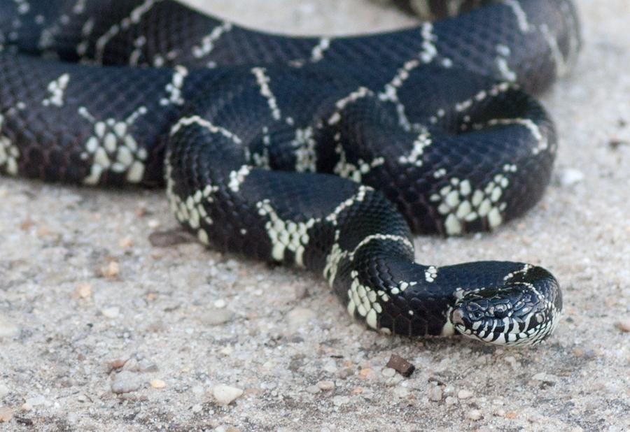 King Snake.jpg