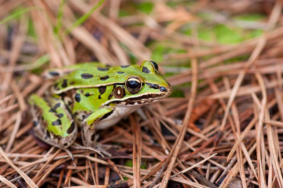 leopard frog 2.jpg