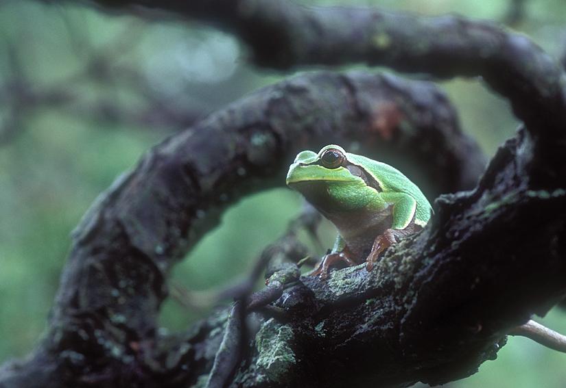 PB Tree Frog up 1a 1.jpg