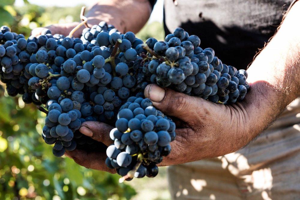 Famiglia Mazzarrini_hands holding grapes_1484305906_DSC9553.jpg