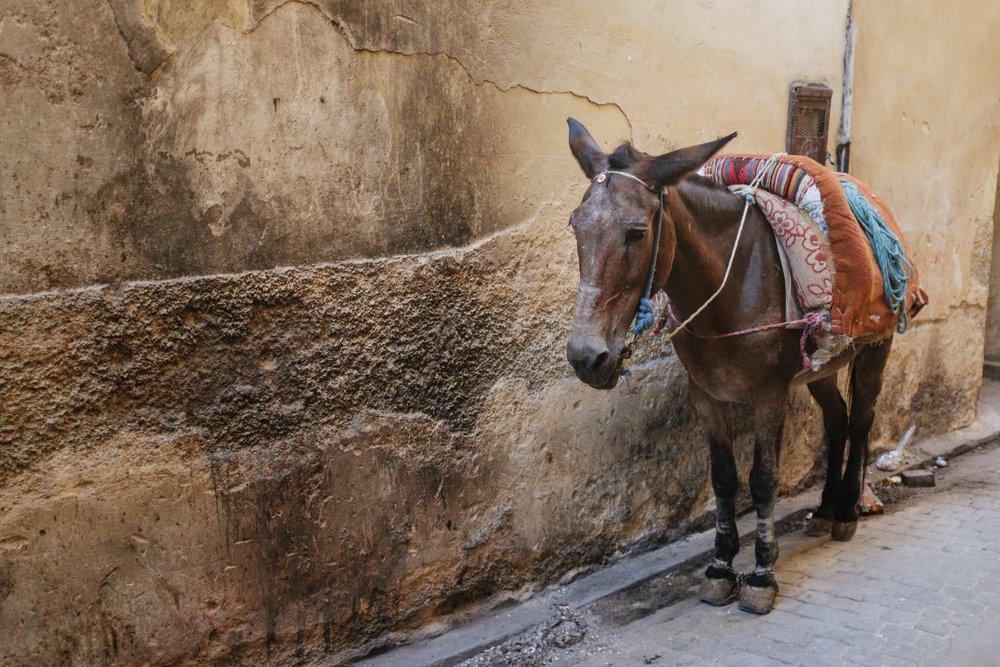 Morocco_Fes_Donkey.jpg