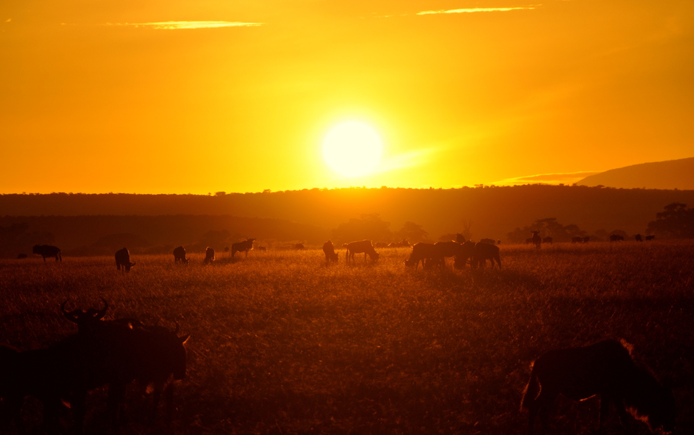 Sun Rise with Wildebeest in Maasai Mara, Kenya, Africa