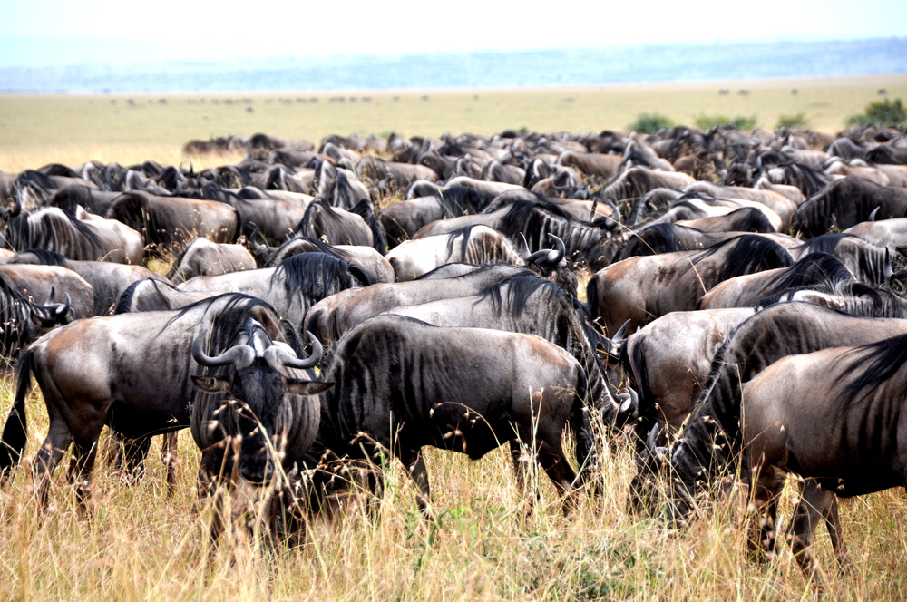 Wildebeest in Maasai Mara, Kenya, Africa