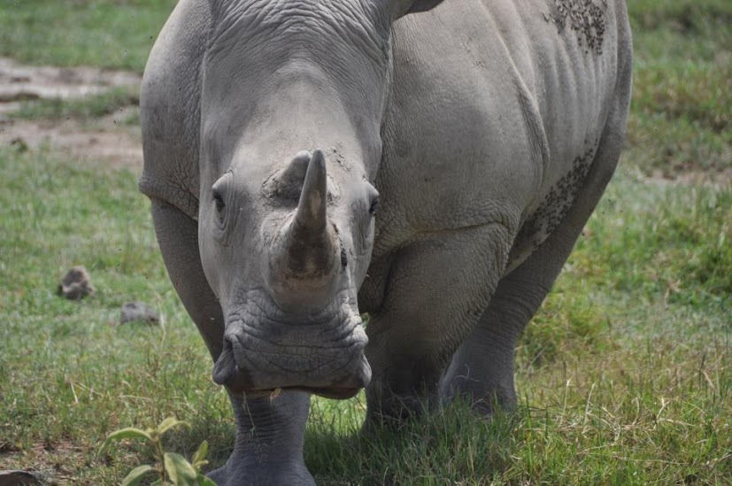 White Rhino, Wide Rhino Naivasha, Nakuru, Kenya