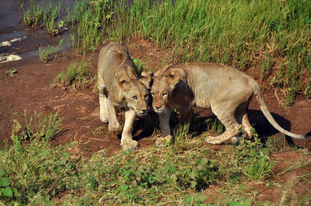 Lion Cubs-Brothers Maasai Mara, Kenya, Africa