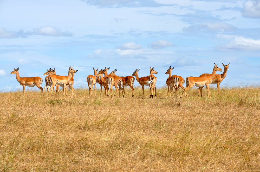 Impala in  Maasai Mara, Kenya, Africa