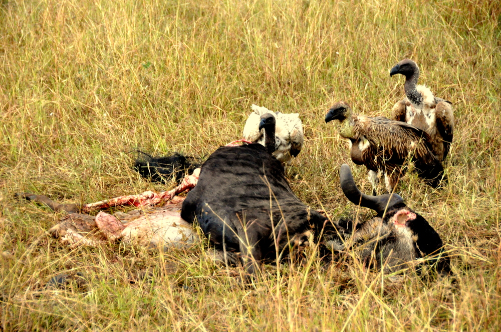 Vultures feeding on carcass in Maasai Mara, Kenya, Africa