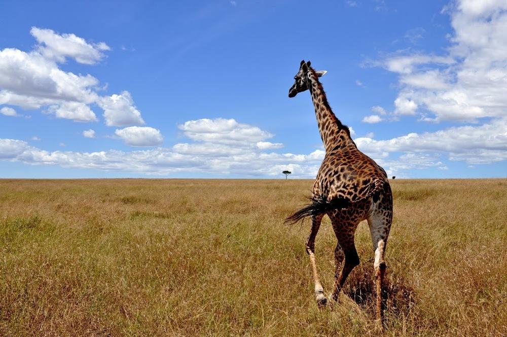 Giraffe, Maasai Mara, Kenya,Africa