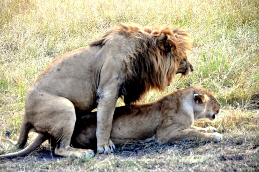 Lion - Maasai Mara