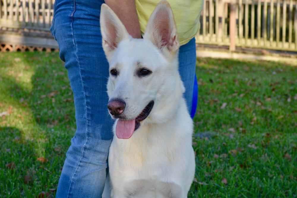 Ceres is a beautiful white German Shepherd that was saved from the shelter that is currently in foster care.