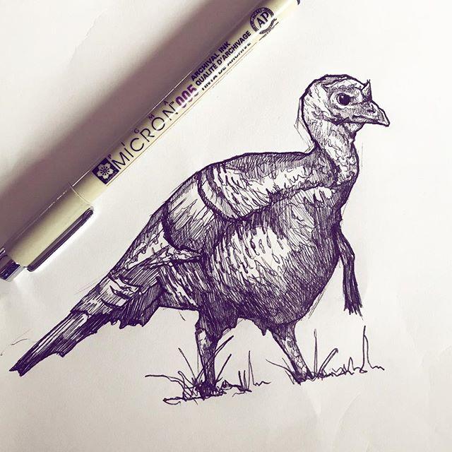 """Gobble gobble,"" said the delicious bird. #penandink #micron #naturalist #turkey #montanawildlife"