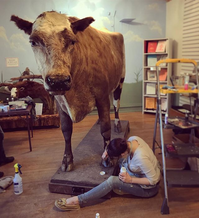"""Giving #steermontana a pedicure and a facial for his 96th birthday today! In his life, he grew to be nearly 6 feet tall; 10 foot 4 inches long; and weighed nearly two tons (3,980 pounds). He was the """"World's Largest Steer"""" and traveled the world before landing at the O'Fallon Historical Museum in Baker, MT. Happy birthday, bovine friend! #taxidermy #taxidermyrepair #cows #southeastmontana"""