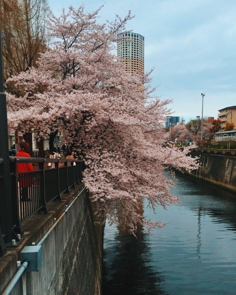 tokyo-sakura.jpg