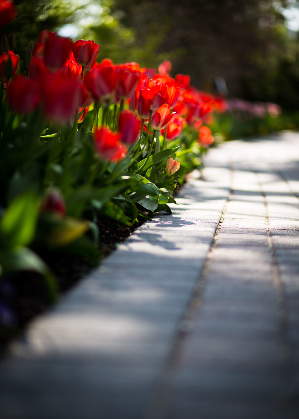 Tulips by Walkway