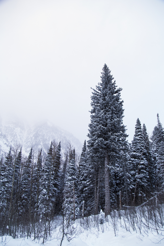 DecemberPineTrees.jpg