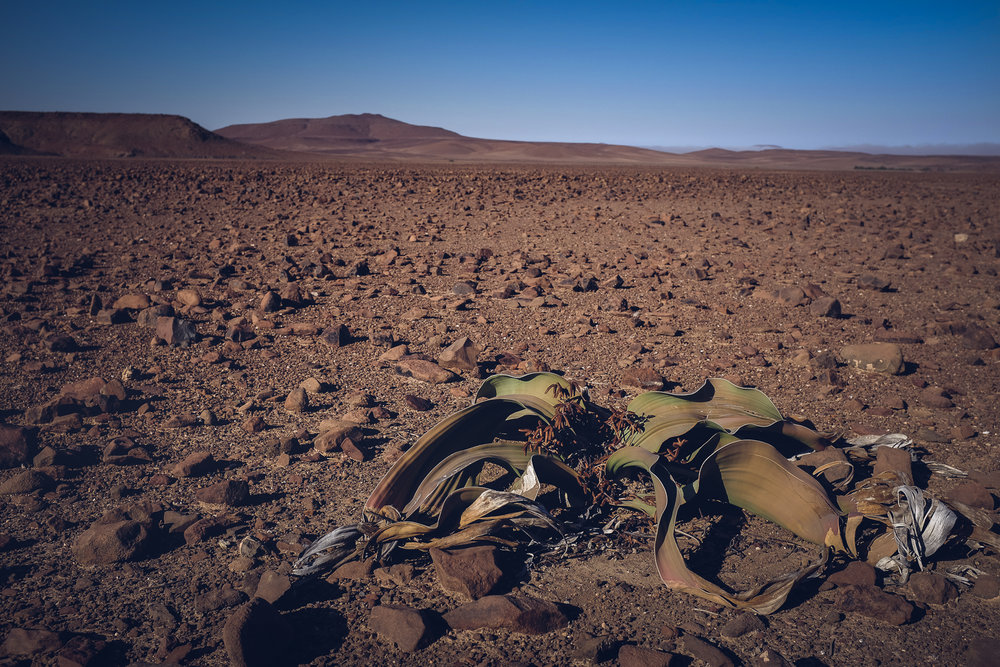The welwitschia grows extremely slowly and looks dead but isn't. This one maybe be well over a thousand years old.