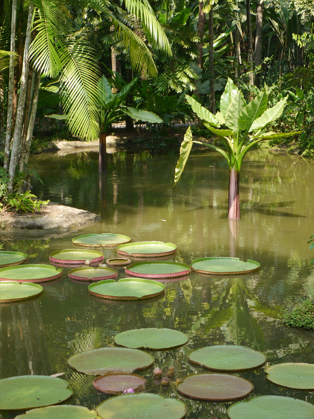 Huge lily pads and a submerged palm.