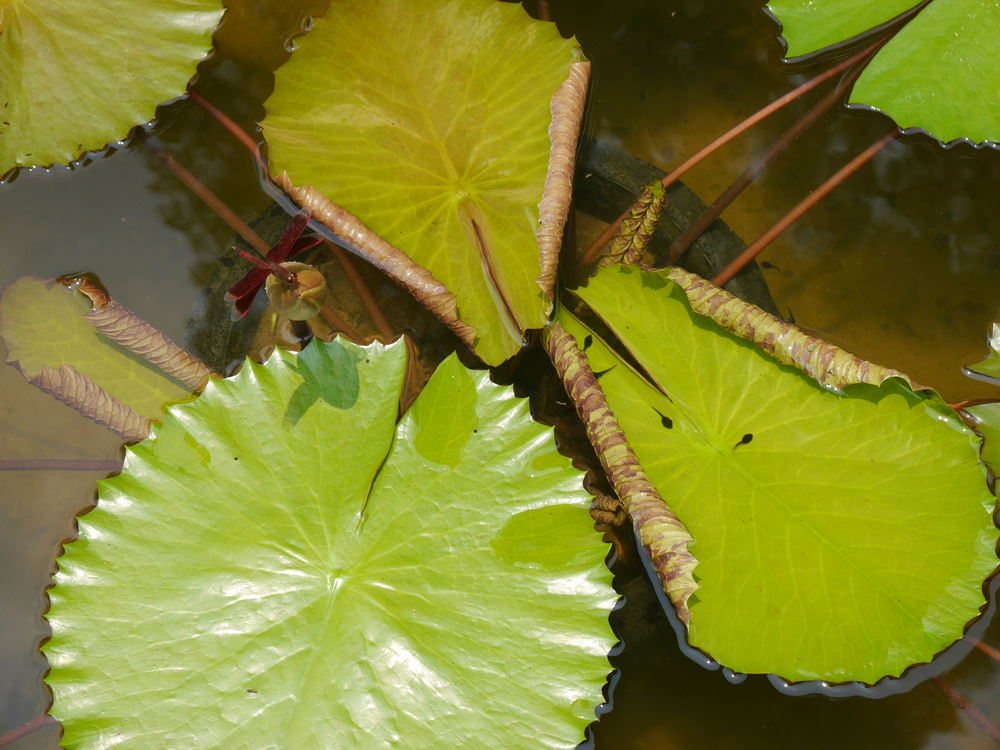 More lily pads. Really neat bright red dragonfly in the top left, and a couple tadpoles bottom right.