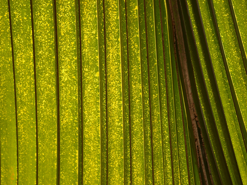 More light through palm leaves.