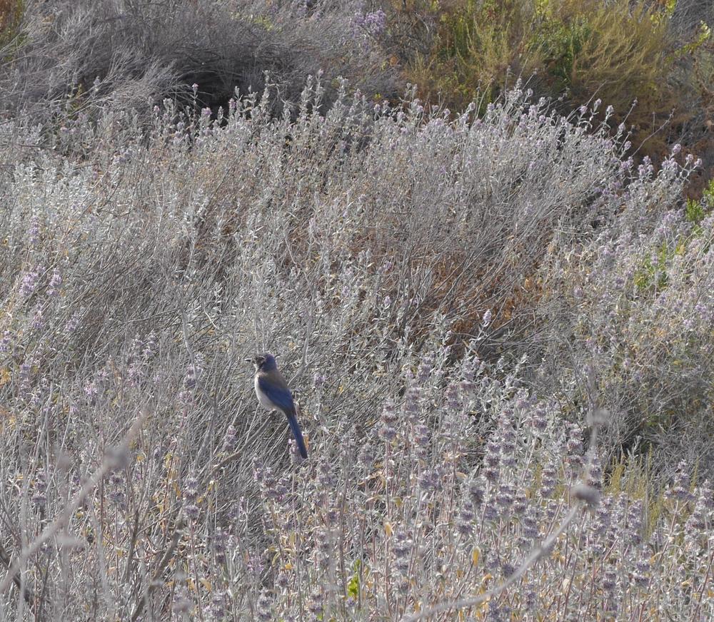 A blue bird!