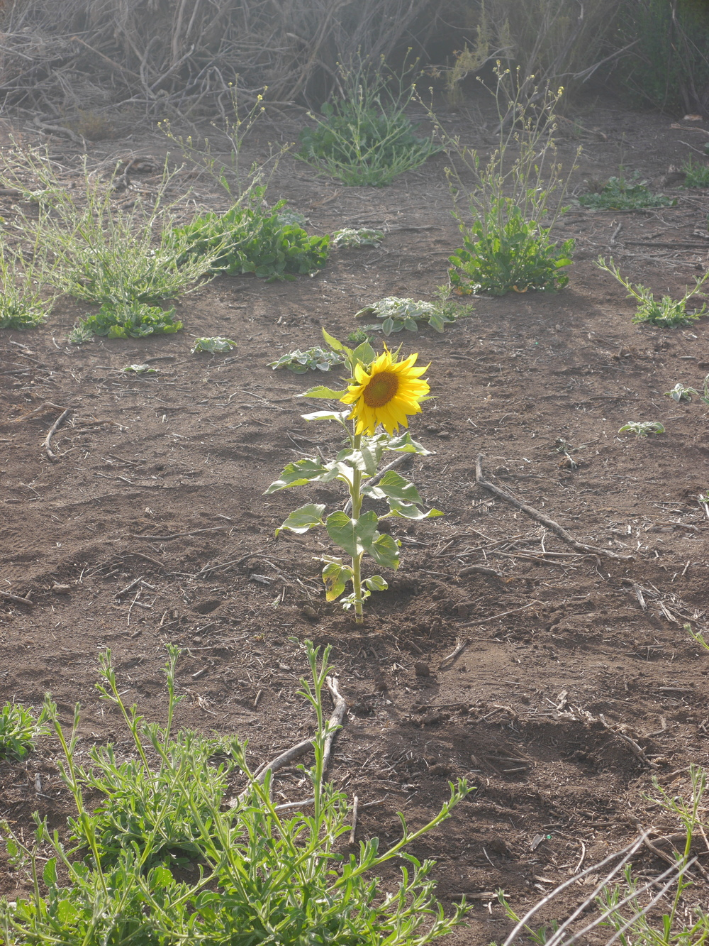 A solitary (and brightly lit) sunflower.