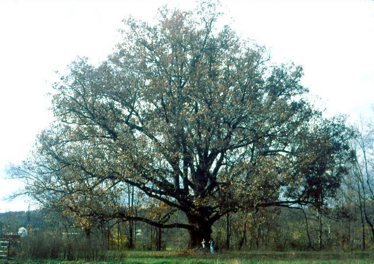 Quercus Alba  aka White Oak