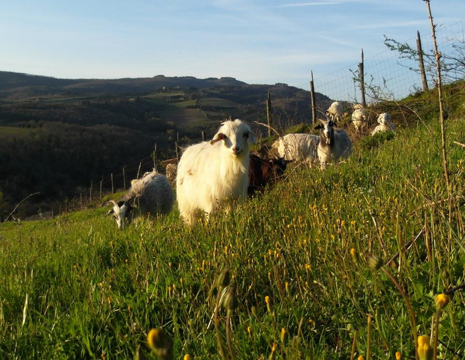 Grazing at Chianti Cashmere Goat Farm