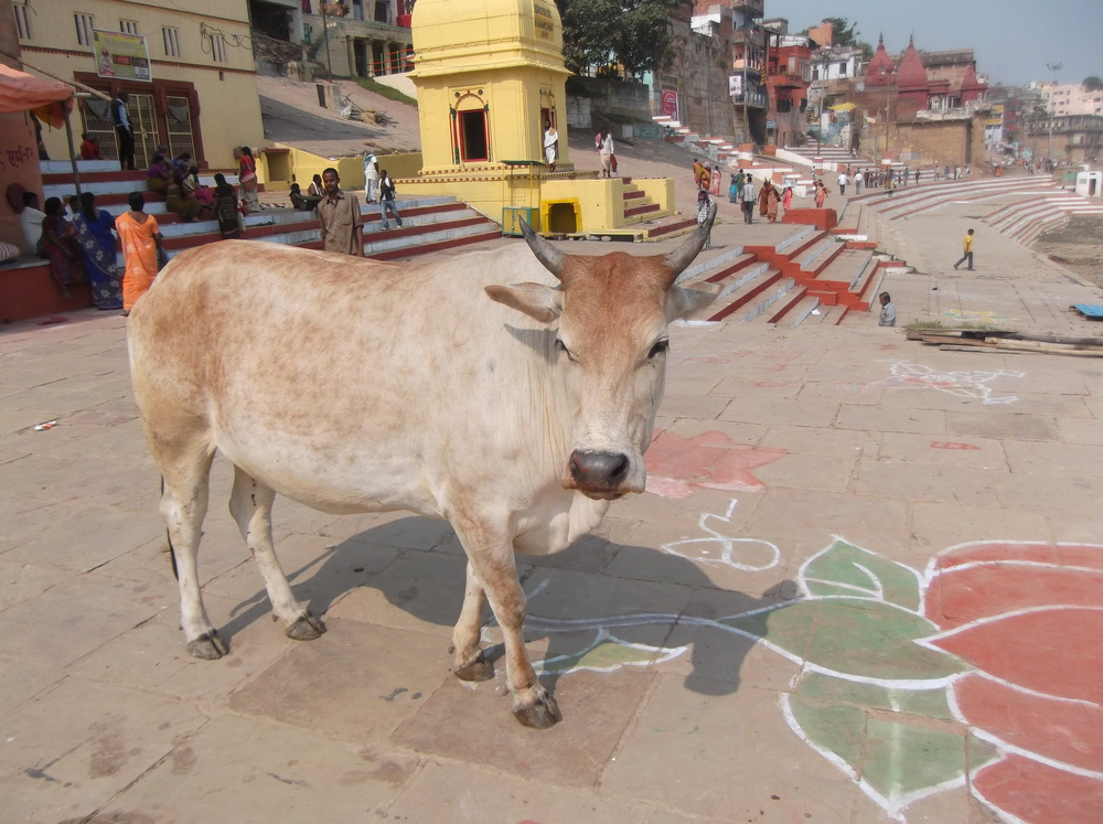 A cow stands on a Ghat by the river Ganga.