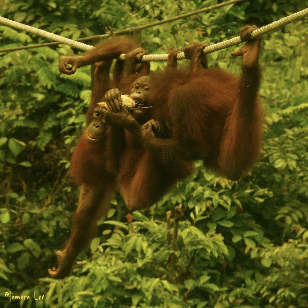 just orangutan-ing around