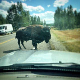 buffalo in front of car.jpg