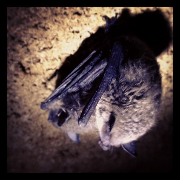These are bats of Monticello,IA. There are bats outside my window right now in Vinton, IA. Bats are important.  Bats make me really happy. Bats.  #bats